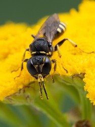 vertical image of a tiny squarehead wasp, Ectemnius species, dusted with pollen, resting on the yellow flower of a common tansy (Tanacetum vulgare)