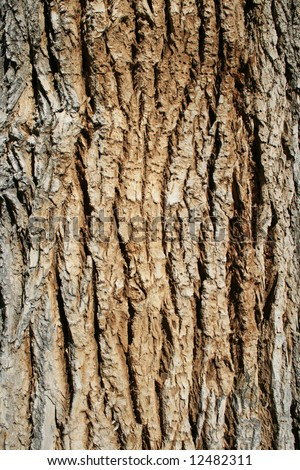 vertical image of bark on an old cottonwood (populus fremontii) tree trunk