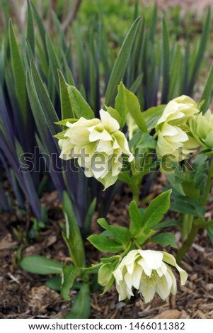Vertical image of 'Double Integrity' hybrid Lenten rose (Helleborus x hybridus 'Double Integrity') with the purple-blushed spring foliage of 'Gerald Darby' iris (Iris x robusta 'Gerald Darby') Stockfoto ©