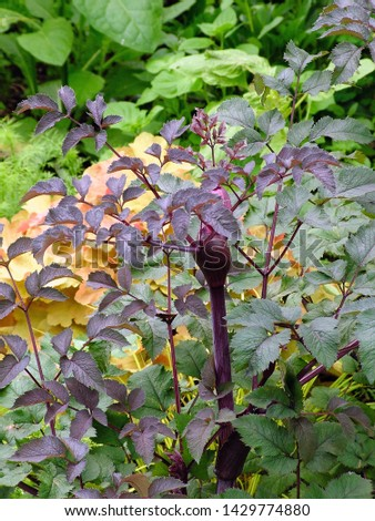 Vertical image of 'Ebony' angelica (Angelica 'Ebony') in a garden setting, showing the purple stems, foliage (leaves), and flower bud