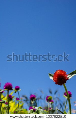 Vertical image of globe amaranth (Gomphrena) flowers against a cloudless blue sky, with copy space