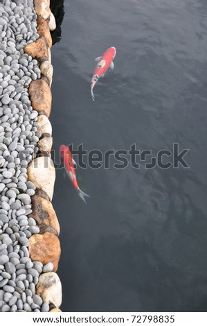 vertical image of Koi goldfish swimming in a clear water pool or stone pond