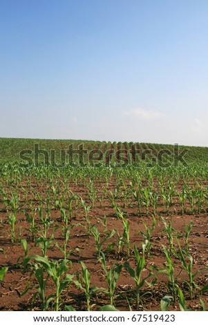 vertical image of midwestern cornfield with copy space in the sky