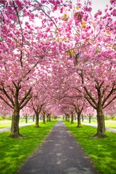 Vertical image of park with alley of pink blossoming sakura trees. Spring landscape. Walking path under the beautiful sakura trees or cherry trees tunnel during blossom season. Romantic walkway Sakura