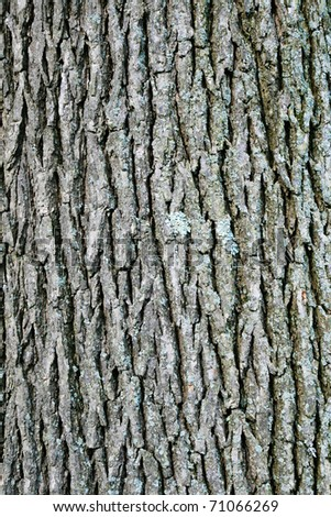 vertical image of swamp white oak (quercus bicolor) bark