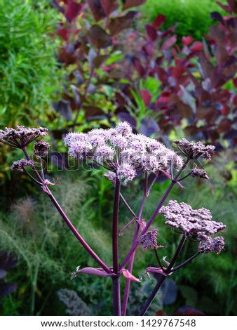 Vertical image of the flowerheads (umbels) of 'Ebony' angelica (Angelica 'Ebony') with the dark foliage of 'Royal Purple' smokebush (Cotinus coggygria 'Royal Purple') in the background