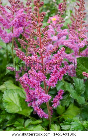 Vertical image of the purplish pink flowers of 'Visions' astilbe (Astilbe 'Visions') #1455491306