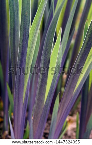 Vertical image of the spring foliage (leaves) of 'Gerald Darby' iris (Iris x robusta 'Gerald Darby) Stockfoto ©