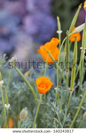 vertical orientation close up of the California Poppy, California's State Flower with copy space /  Close Up of the California Poppy