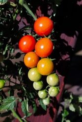Vertical photo of clusters of tomatoes in various stages of ripeness