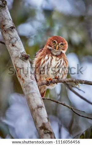 Vertical photo of Glaucidium brasilianum, Ferruginous pygmy owl, small, typical owl native to America. Rich rufous colored owl, perched on a tree. Costa Rica wildlife photography.