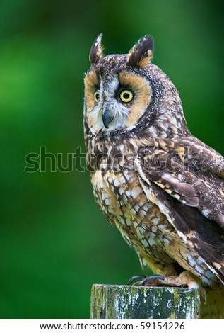 Vertical photo of Long-eared Owl on old post