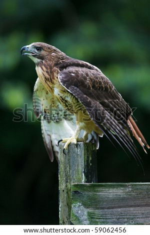 Vertical photo of red-tailed hawk on fence post ready to fly