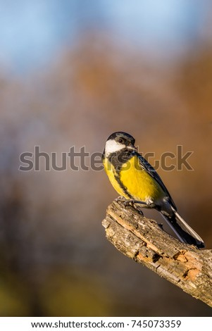 Vertical photo of single male great-tit. The bird has yellow, white, green and black color on feathers. Avian is perched and pose on dry twig with worn surface. Background is blurred. #745073359