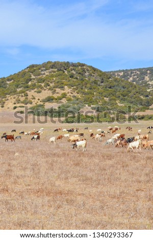 Vertical picture of a herd of goats grazing on a dried field with small hills in the background. Photo taken on a sunny day in remote Karpaz Peninsula, Turkish part of beautiful Cyprus.