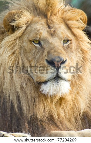 black and white lion face. male lion face (scientific