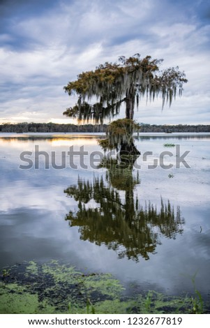 Vertical Presentation of Lone Moss-Draped Cypress Tree at Sunset on Cypress Island in St. Martin Parish Louisiana