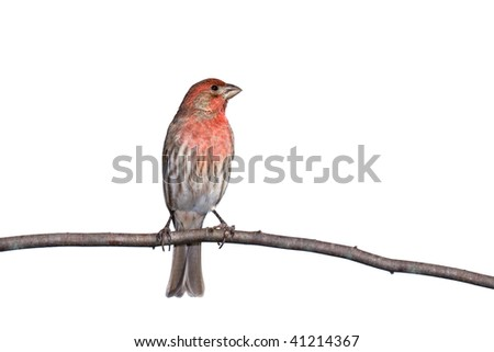vertical profile of house finch perched on a branch, white background