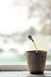 vertical pumpkin plant seedling in window