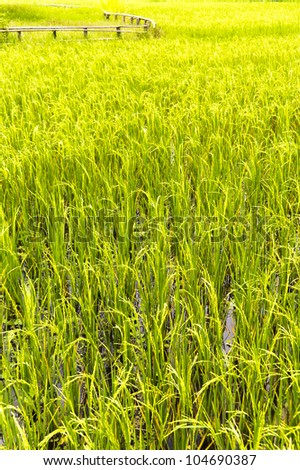 Vertical shot of a Paddy Field with a wooden fence