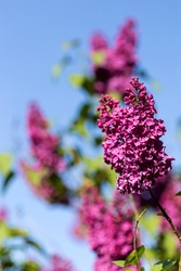 Vertical view of blooming violet lilac flowers Syringa vulgaris against a blue sky on a sunny spring day