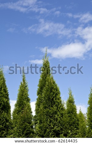 Vertical view of evergreen trees against cloudy blue skies