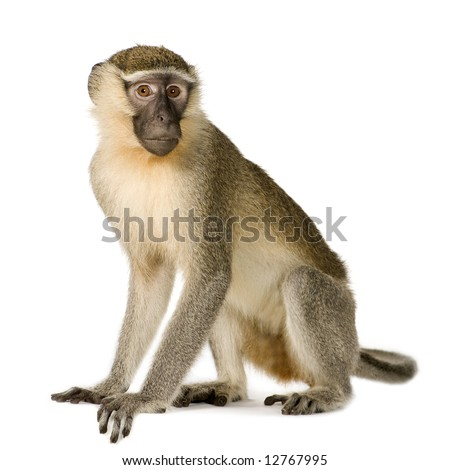 Vervet Monkey -  Chlorocebus pygerythrus in front of a white background - stock photo
