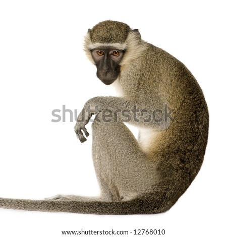 Vervet Monkey -  Chlorocebus pygerythrus in front of a white background