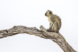 Vervet monkey in Kruger national park, South Africa ; Specie Chlorocebus pygerythrus family of Cercopithecidae