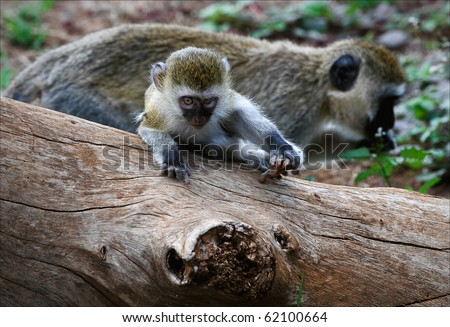 Vervet Monkey.The Vervet Monkey (Chlorocebus pygerythrus), sometimes simply known as the Vervet, is an Old World monkey in the family Cercopithecidae which is native to Africa.