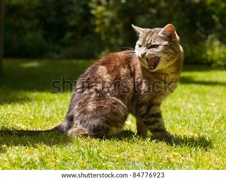 very aggressive yelling cat in a garden setting