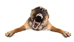 very angry purebred belgian shepherd malinois, focus on the eyes of dog.
