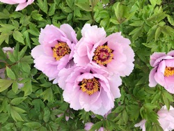 very beautiful flowering tree peony, peony flower, peony on a bush