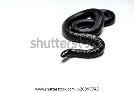 very beautiful real black mexican snake