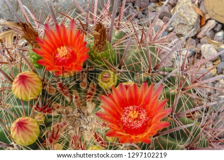 Very beautiful red claret cup cactus blossom and buds with awesome spines El Paso Texas 26 May 2007  #1297102219