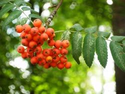very beautiful red rowanberry,berries rowan in summer, mountain ash on the tree in summer