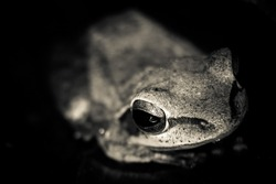 Very close photo of the leucomystax Polypedate frog with eye focused. Image of Common tree frog, four-lined tree frog, silver tree frog on white background. Animal. Amphibians.
