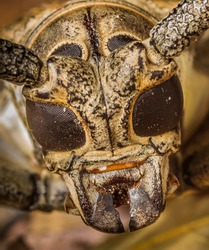 Very close up macro of Black Raised-spot Long-horned Beetle(atocera rufomaculata) in nature.
