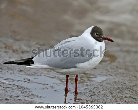 Very close up photo of an adult black headed gull in breeding plumage stands on a ground