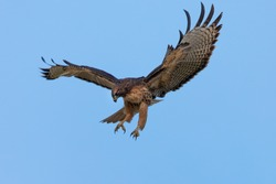 Very close view of a red-tailed hawk diving on a prey, seen in the wild in North California