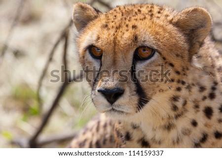 Very closeup of cheetah. Africa. Namibia. Cheetah head.