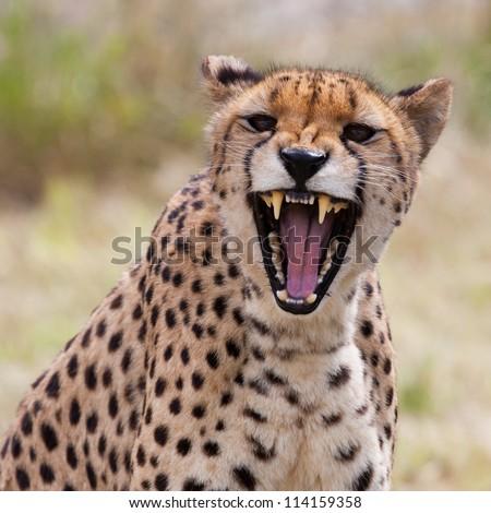 Very closeup of cheetah. Africa. Namibia. Cheetah head and teeth. Angry cheetah.