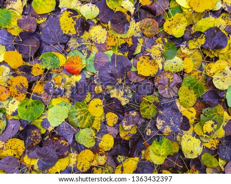 Very colorful frame-filling photo of fallen cottonwood leaves; purples, greens and yellow, with one bright red leaf left of center. Leaves are very uniform and form a brightly colored pattern. #1363432397