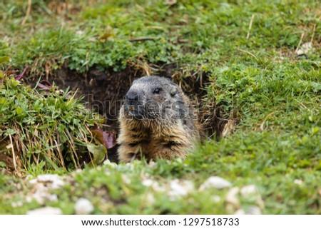 Very curious Marmot from italian Dolomites