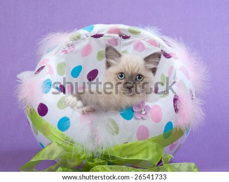 Very cute and pretty Ragdoll kitten sitting inside colorful Easter egg with green ribbon bow, on lilac purple background