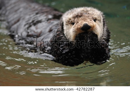Very cute arctic tundra sea otter covers its mouth as if it has done something wrong. - stock photo