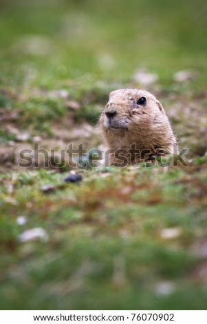 very cute black tailed prairie dog (Cynomys ludovicianus)