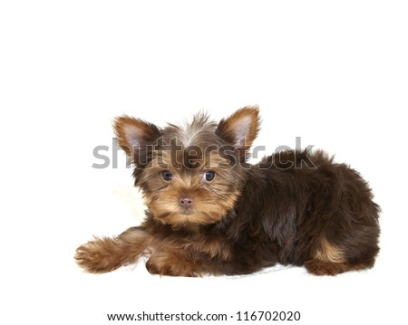 Very cute chocolate Yorkie puppy on a white background with copy space.