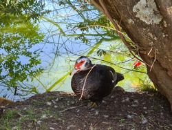 Very cute duck, living in its space in a city park. These birds inhabit bodies of water, such as the banks of rivers, lakes, swamps and swamps.
