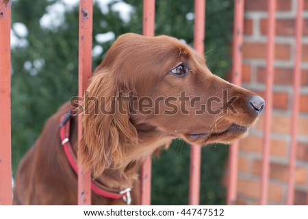 very cute guard dog poking his head through the fence and looking you up and down